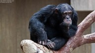 Photo of thoughtful Chimpanzee