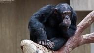 Photo of thoughtful Chimpanzee