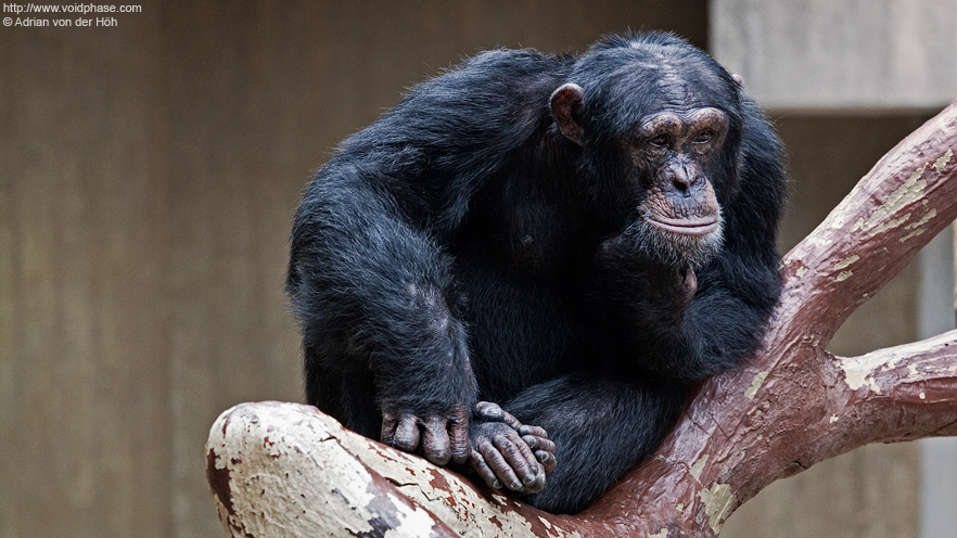 Thoughtful Chimpanzee (Bonobo, ape)