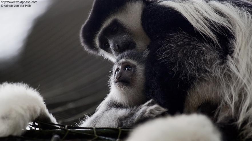 Mantled Guereza (Colobus guereza, monkey, primate)