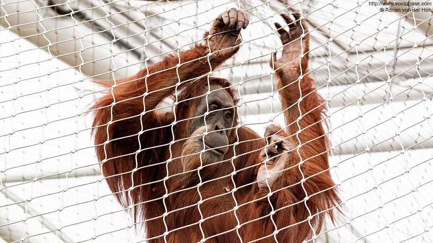 Imprisoned Orangutan (Pongo borneo, ape, primate)