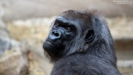 Photo of sad looking Western Lowland Gorilla