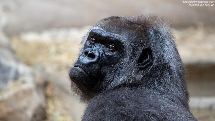 Sad looking Lowland Gorilla (ape, primate)