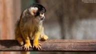 Photo of Squirrel Monkey on a wooden bar