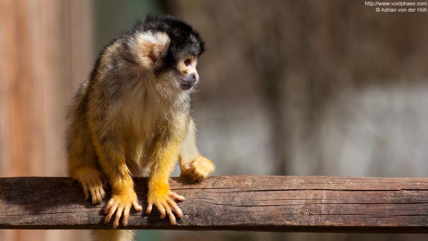 Squirrel Monkey (Saimiri, primate)