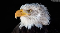 Portrait shot of a Bald Eagle (Haliaeetus leucocephalus)