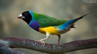 Photo of colorful Gouldian Finch (Erythrura gouldiae)
