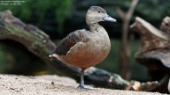 Profile shot of Lesser Whistling Duck (Dendrocygna javanica)