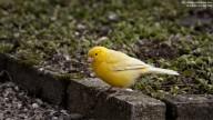 Photo of Yellow Canary (Serinus canari)