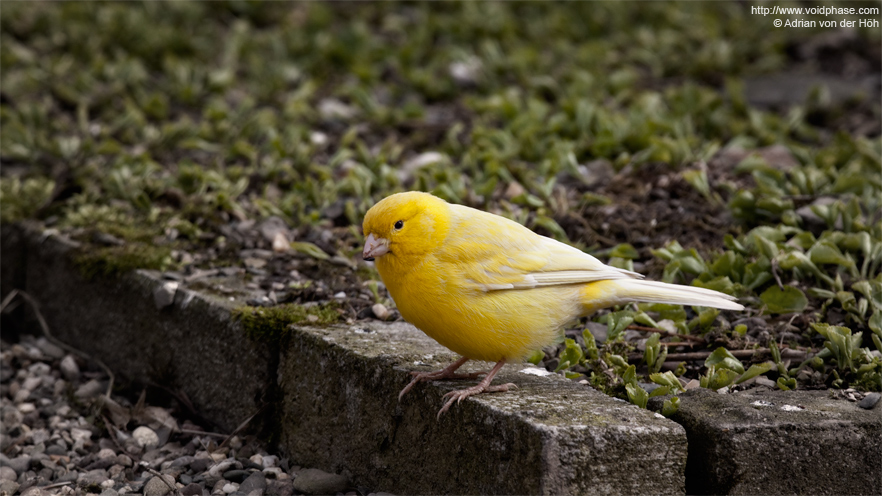 Yellow Canary (serinus canari, finch)