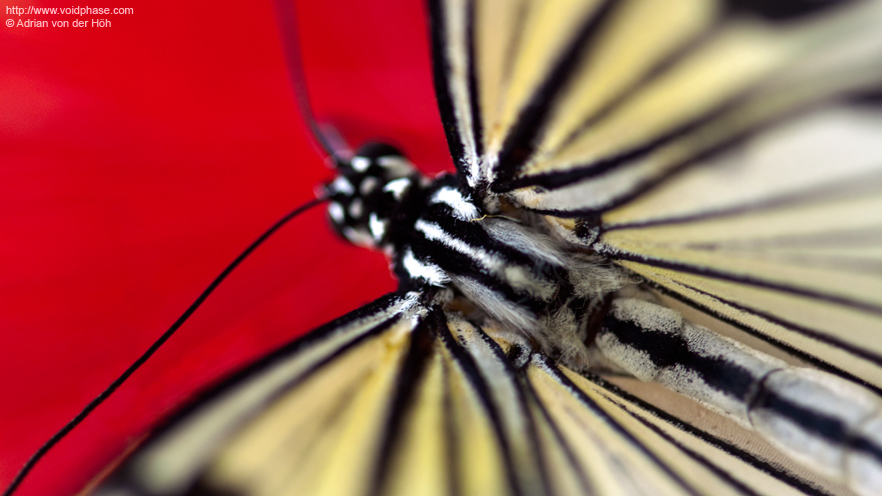 Butterfly: Idea leuconoe, extreme Close Up on red Background