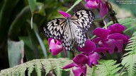 Photo of butterfly: Idea leuconoe on orchid