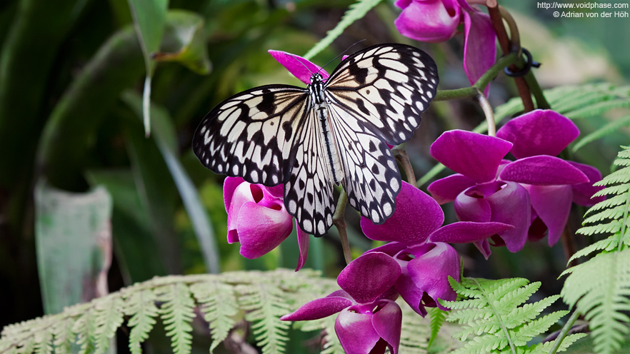 Butterfly: Idea Leuconoe (Paper Kite) on purple Orchid