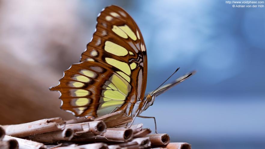 Butterfly: Malachite (Siproeta stelenes, nice bokeh)