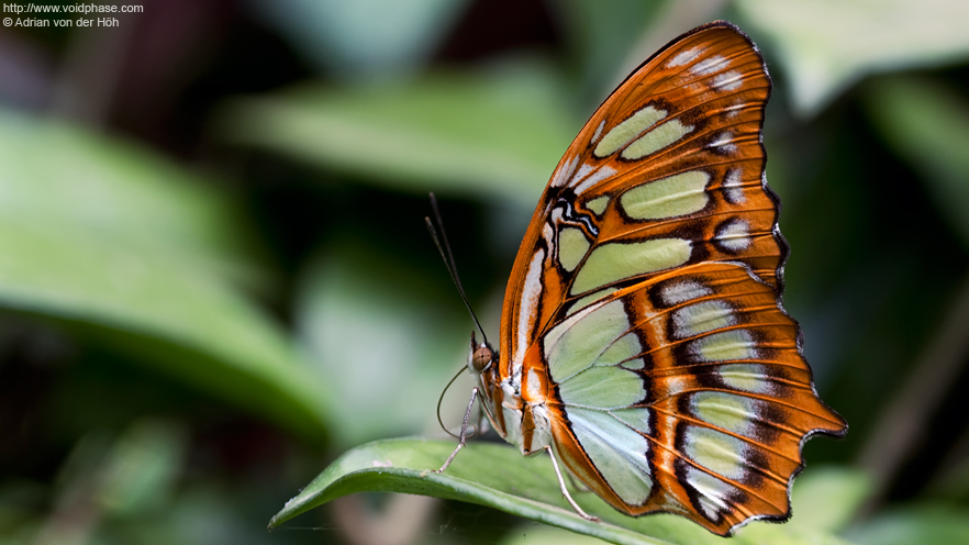 Butterfly: Malachite (Siproeta stelenes, profile shot)
