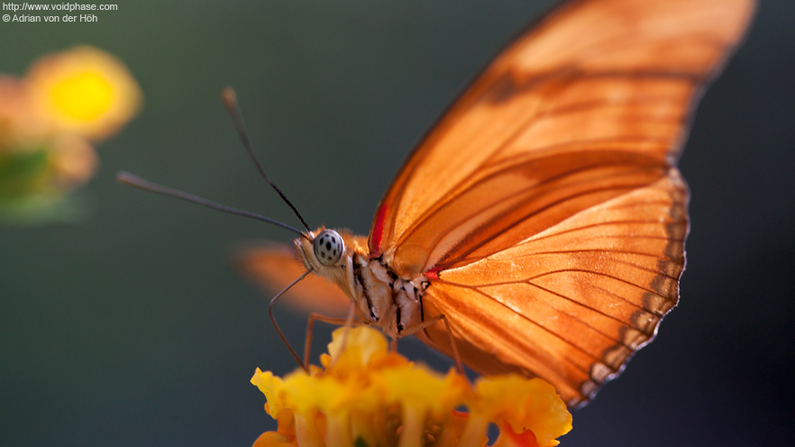 Orange Julia Butterfly (Dryas iulia) on yellow flower