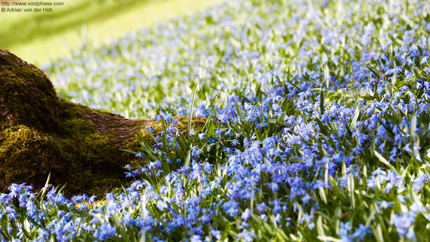 Spring: Meadow with blue Flowers