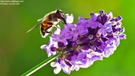 Bee on purple lavender flower