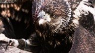 Bird of prey with bloody beak