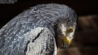 Gray eagle with hanging head